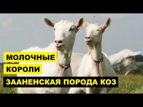 Зааненская порода коз описание, разведение, содержание   Козоводство   Молочные козы