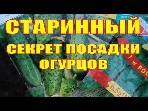 СЕКРЕТЫ ПОСАДКИ ОГУРЦОВ В ОТКРЫТЫЙ ГРУНТ.