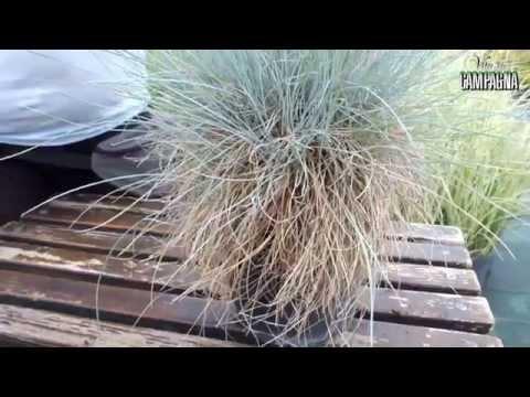 La coltivazione delle graminacee ornamentali