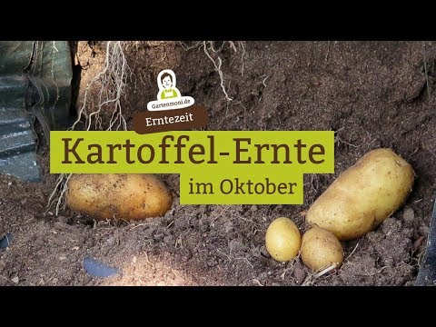 Kartoffeln aus dem Pflanzsack und Eimern ernten