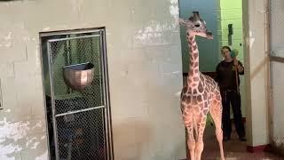 Viv shift training at Cheyenne Mountain Zoo.