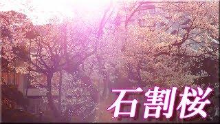 石割桜2018/岩手県盛岡市