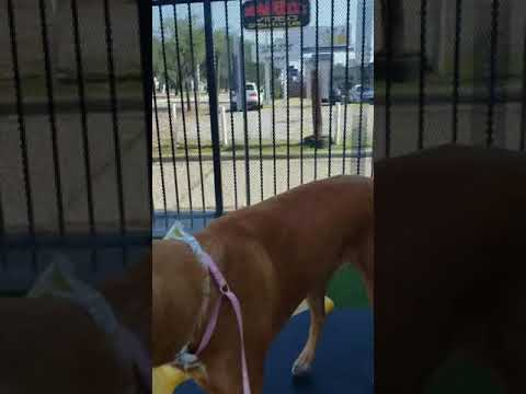 Orphan Annie, an adopted Labrador Retriever Mix in Houston, TX