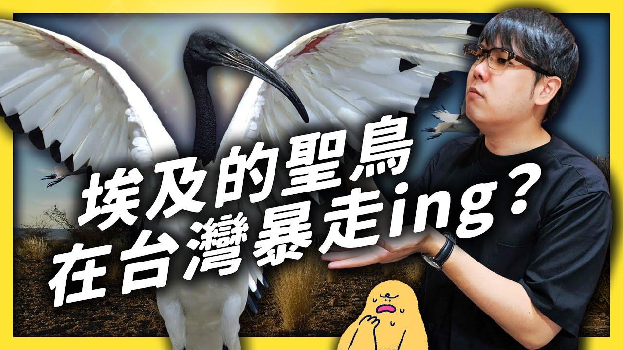 埃及的神聖小鳥入侵台灣!外來種就該全部移除嗎?《 大自然ㄉ逆襲 》EP 013|志祺七七