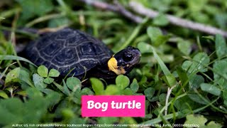 Bog turtle (Glyptemys muhlenbergii) Critically Endangered