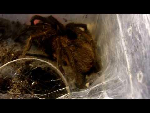 Phormictopus cancerides (Haitian Brown Bird Eater) Mating Update... Isabella Webbing Up