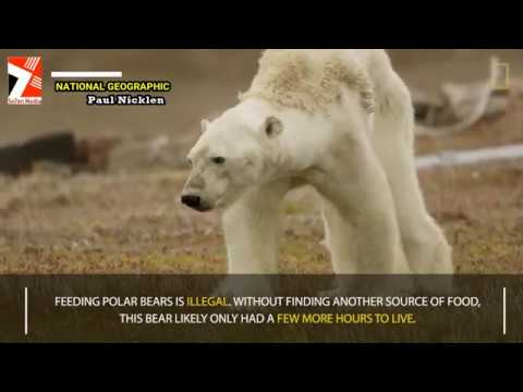 Heart-Wrenching Video Shows Starving Polar Bear on Iceless Land