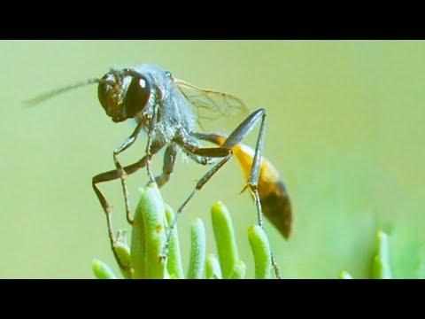 Bodysnatcher Wasp | Trials Of Life | BBC Earth