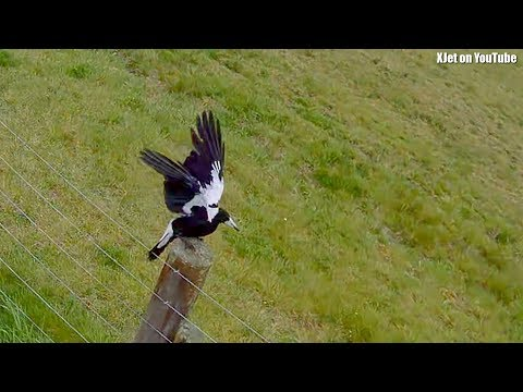 drone-versus-magpies-at-tokoroa-airport