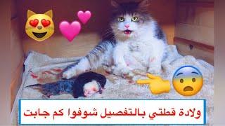 ولادة قطتي الملكة كامله من البداية الى اليوم الثاني  / Mohamed Vlog