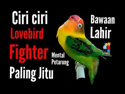 Video Ciri ciri lovebird fighter - paling jitu | bawaan lahir