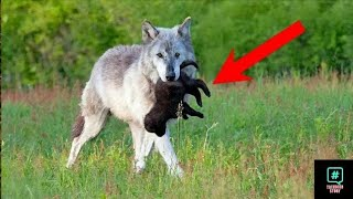 The she wolf gave her baby to the farmer this is what he did then