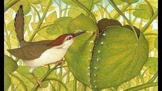 Chim thợ may - Khâu lá làm tổ