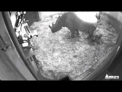 Watch A Baby Black Rhino Being Born