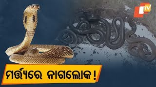 Indian Cobra snakes recovered in Bhadrak