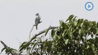 Listen to the world's loudest bird deafening call