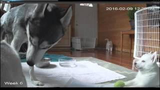 Siberian Husky Puppy Live Stream HD