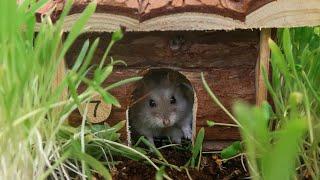 Nitrogen The Hamster Explores His Garden Play Cage
