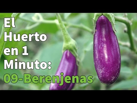 Plantón ecológico de Berenjena Larga Negra Pack 6 ud. 54x43mm