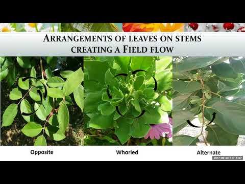 Medicină pe frunze de struguri din varicoză