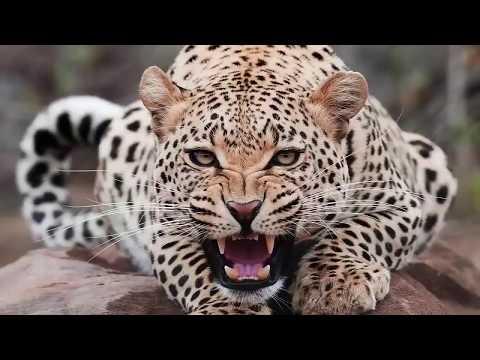 Tiger vs Lion | jaguar vs cheetah | Lion vs cheetah | Tiger Attak |