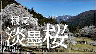 空撮!根尾谷 淡墨桜