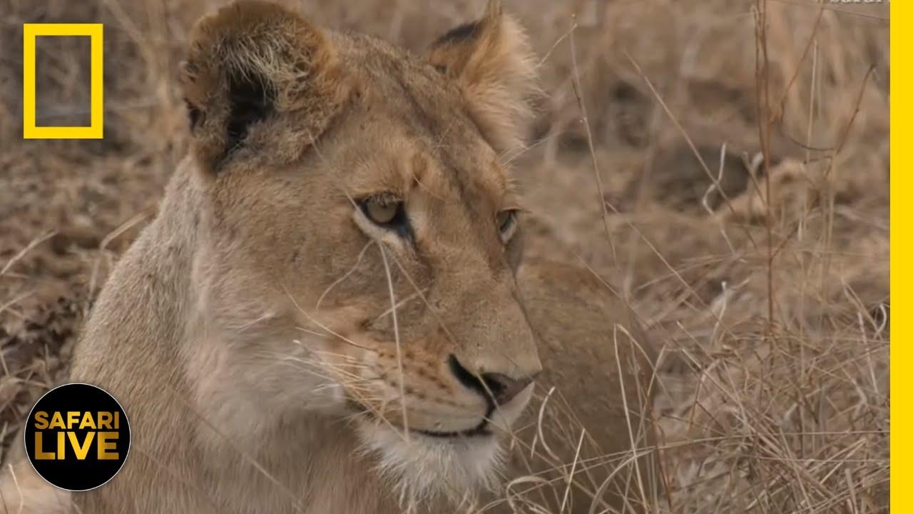 Safari Live - Day 32 | National Geographic thumbnail
