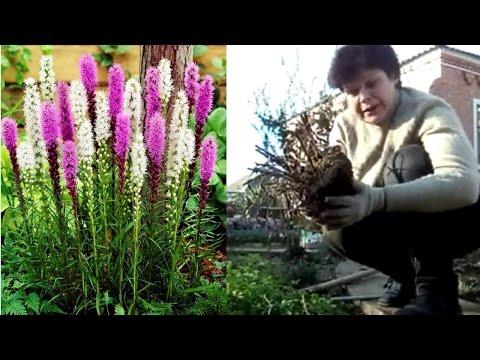 Неприхотливые цветы для сада. Лиатрис посадка размножение уход