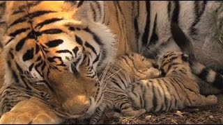 Tiger Canyons. Help save the wild tiger. Share our post.