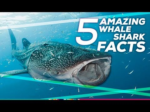 Facts About Whale Sharks in Isla Holbox Mexico