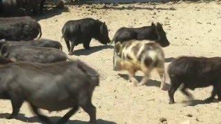 Apex SA - Miniature Pig Breeding