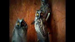 Long-eared owls watching...