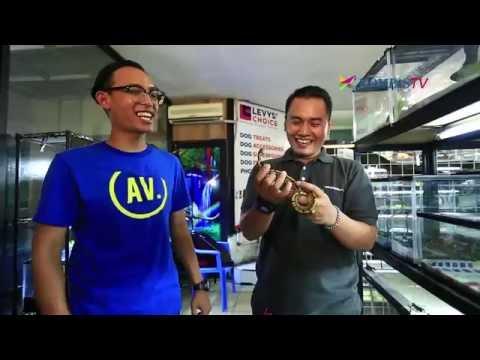 Video Cara Merawat Reptil - Hobi eps Pecinta Reptilia bagian 3