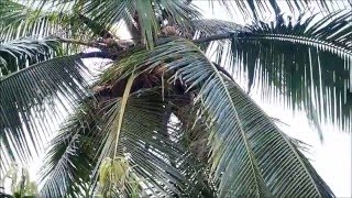 2015-11-07 Picking Coconuts, Chapora