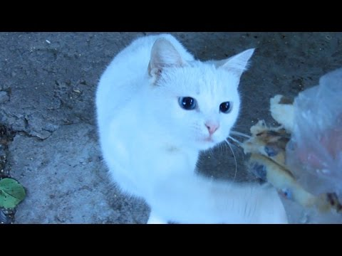 Hungry cat - White cat ate 6 pcs of fish
