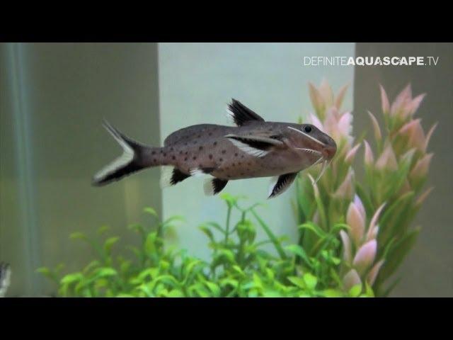 Rare tropical aquarium fish - Aquatics Live 2012, part 7