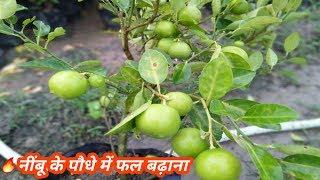 Sadabahar Kagzi Lemon Plant We Provide All India || Barehmassi Kagzi Nimboo Plant In Low Price !!