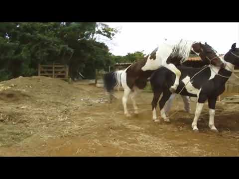 Cow mating,  Cobertura Broto do Reino