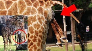 Giraffe giving birth. INCREDIBLE ! that male take care his wife !