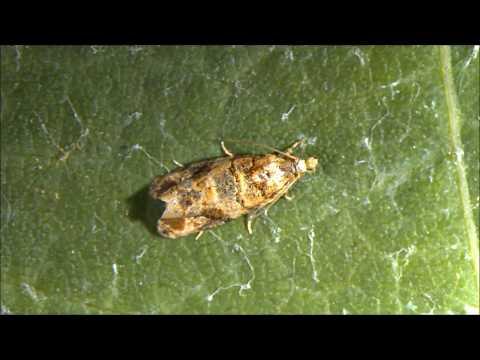 Il lino semina lapplicazione da parassiti