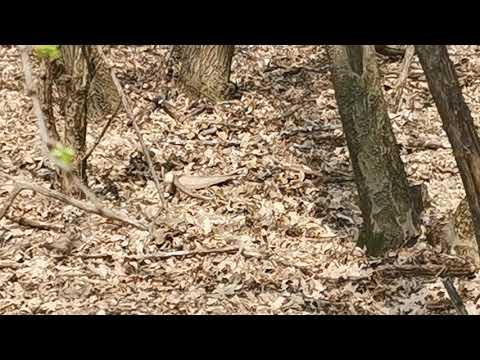Cickafark segíti a parazitákat