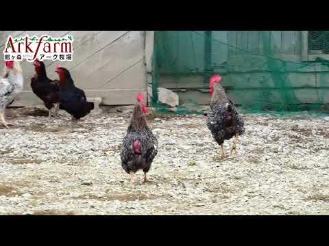 , title : '昔たまご 平飼い 黒鶏 ネラ オランダ原産 館ヶ森アーク牧場 岩手県 観光地