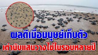 เต่าหญ้านับแสนตัว กลับมาวางไข่ริมชายหาด ในรอบหลายปี