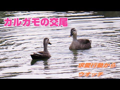 , title : '【4K】カルガモの求愛行動から交尾まで 2020年10月30日元渕江公園