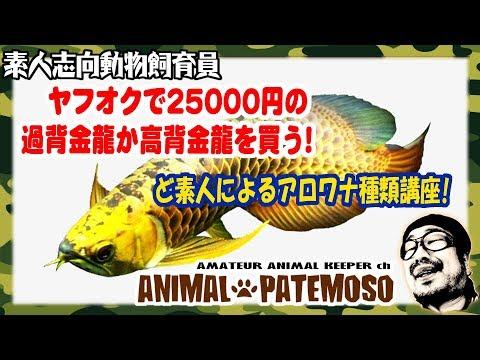 【ど素人のアロワナ講座】25000円の過背金龍か高背金龍を買ってみる!【アジアアロワナ】【熱帯魚】
