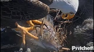 SWFL Eagles ~ What A Catch ~ M Brings In A Whopper Fish ~ Harriet Feeds The E's  1.13.19