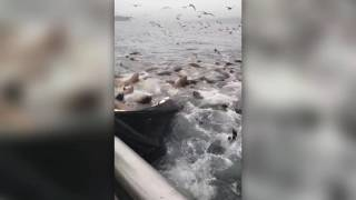 Sea lions swarm fishing boat, fisherman's reaction is priceless