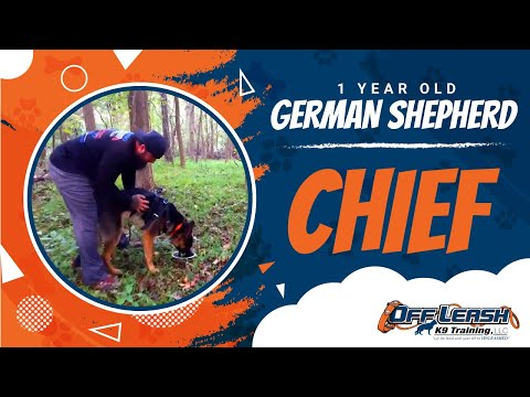 1 Year Old German Shepherd Chief L Deer Recover Of Northern Virginia