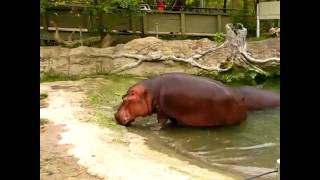 hippo pooping and farting at the same time - 免费在线视频最