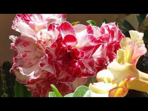 Цветение чудесных Адениумов!.. Люблю июль! ;)